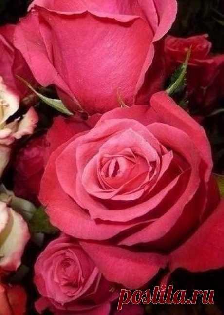 ...много-много роз