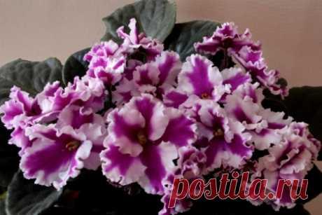 Фиалки на Алтае - Размножение сенполий цветоносами