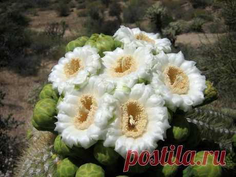 25 фото кактуса, за который вас посадят на 25 лет