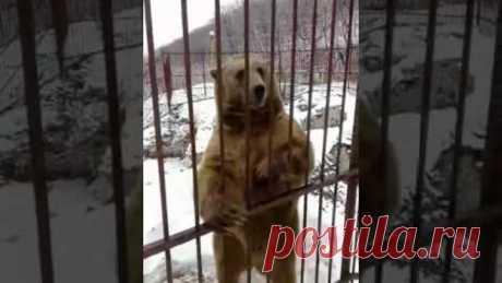 Умный медведь который знает русский язык :)