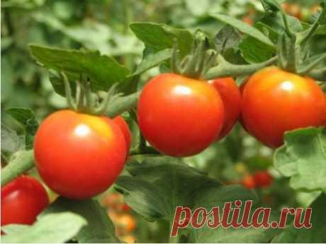 Томат Виттас: характеристика и описание сорта, отзывы, фото, урожайность