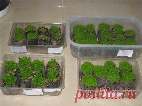 Когда сажать лобелию на рассаду - сроки посева, способы и пошаговые инструкции!