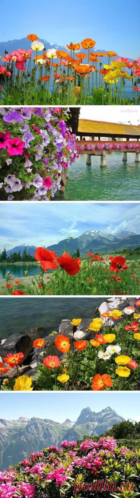 Цветы Швейцарии. Глядя на эти фото кажется, что в Швейцарии все просто утопает в цветах…