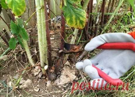 Правильная обрезка малины осенью  Правильные своевременные агротехнические мероприятия, проводимые осенью с малиновыми кустами – залог отличного урожая в следующем году. Как правильно обрезать кусты малины перед зимовкой?     Цикл жи…