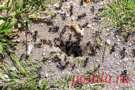 Избавимся от садовых муравьев навсегда | ЗЕЛЕНЫЙ МИР С ЕЛЕНОЙ | Яндекс Дзен