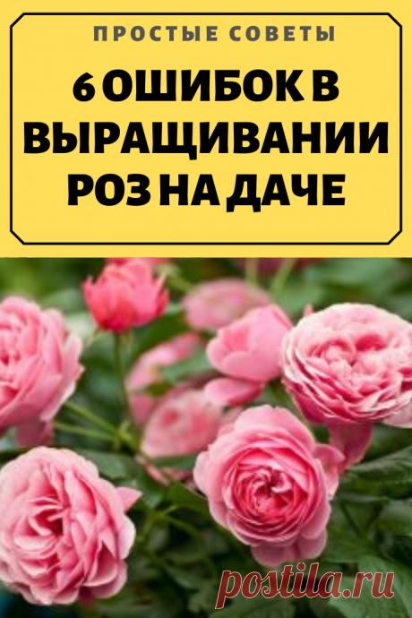 6 ОШИБОК В ВЫРАЩИВАНИИ РОЗ НА ДАЧЕ.1. Сажая розу в грунт, не следует оставлять прививку на поверхности почвы. Лучше углубить корневую шейку растения на 2-3 сантиметра в грунт.