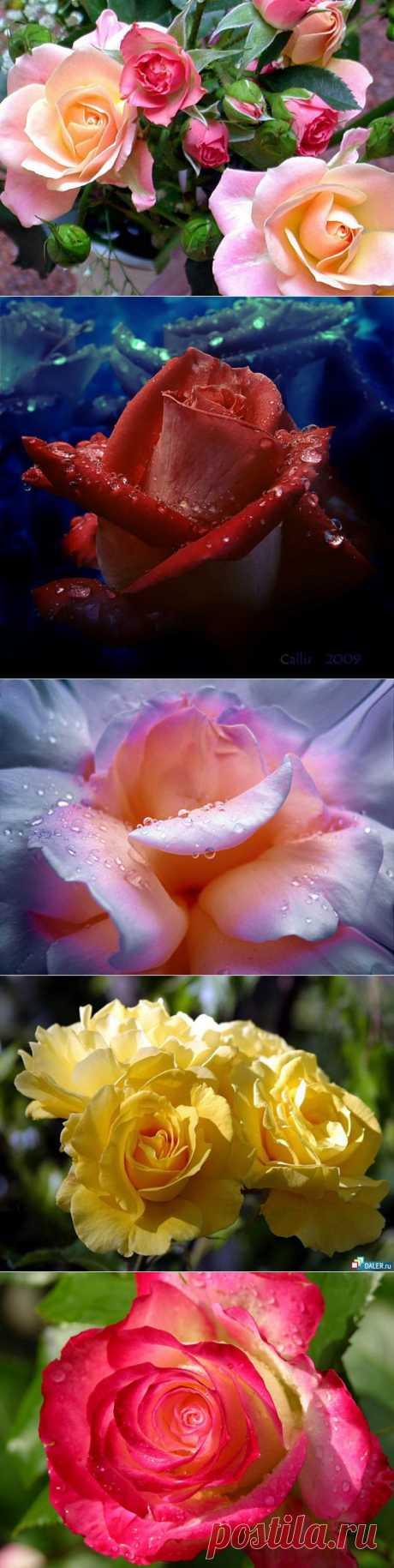 фото розы: