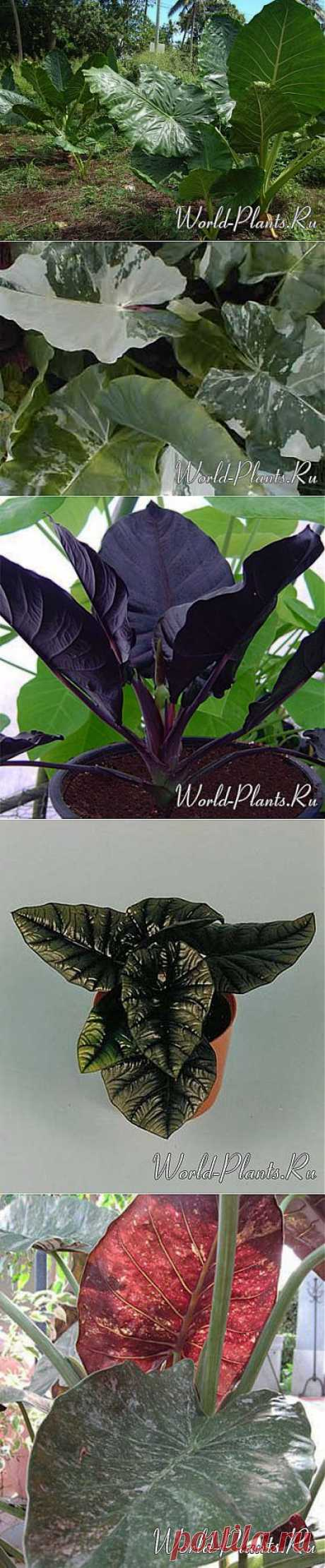 Алоказия (Alocasia) » Мир растений: все о комнатных декоративно-лиственных, цветущих, плодовых и садовых растениях
