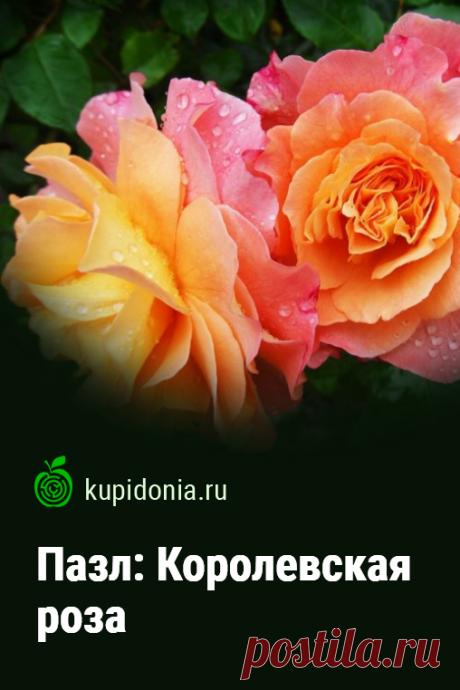 Пазл: Королевская роза. Красивый пазл с великолепными яркими розами из серии «Пазлы с цветами». Собирай пазлы онлайн!