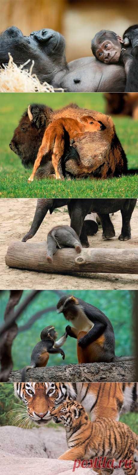 Материнская любовь и забота в животном мире (32 фото)