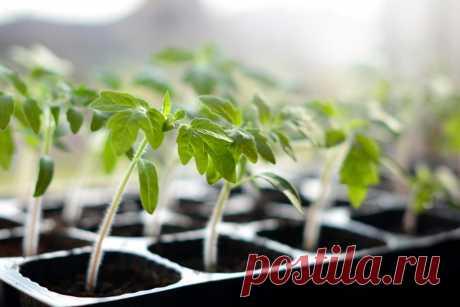 Размножение помидоров и картофеля черенками
