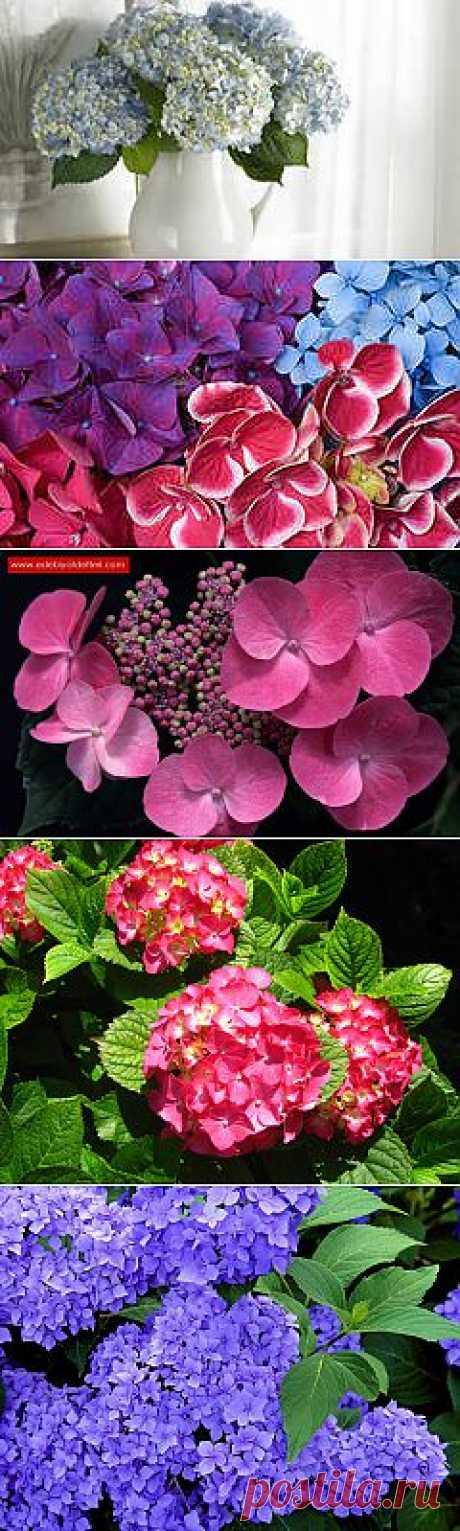 фото цветы гортензия: