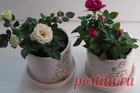 Правильный уход за комнатной розой в домашних условиях   Огород