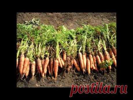 Вкусный Огород: Урожай морковки