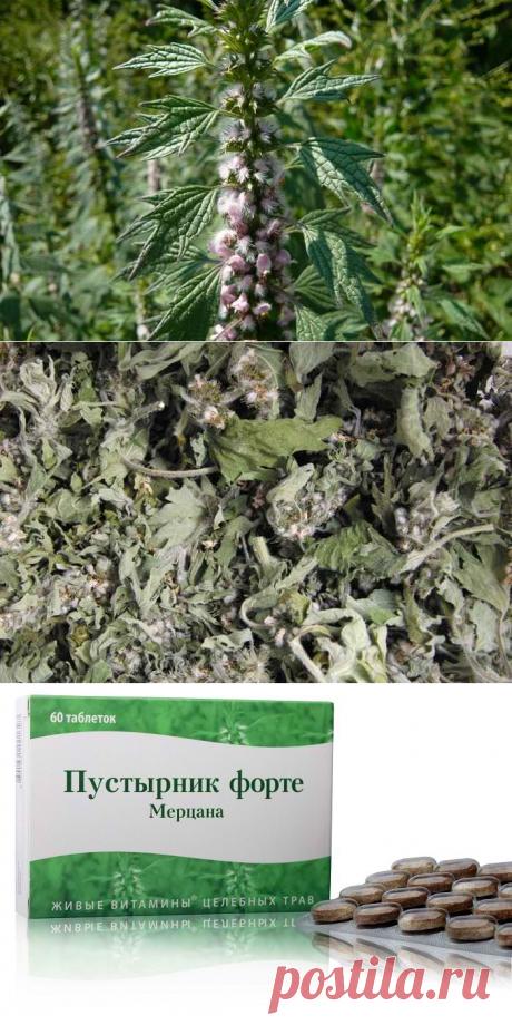 Пустырник трава - лечебные свойства и противопоказания. Настойка пустырника