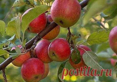 СПОСОБЫ ЗАСТАВИТЬ ПЛОДОНОСИТЬ ДЕРЕВЬЯ, ЕЩЕ БЫСТРЕЕ!!! Так бывает: посадишь деревце, ждешь плодов год, два, три… восемь (!), а урожая все нет. Впору бери топор и руби бесполезное создание природы.Но, подождите, не спешите.Да, это проблема, однако она легк…