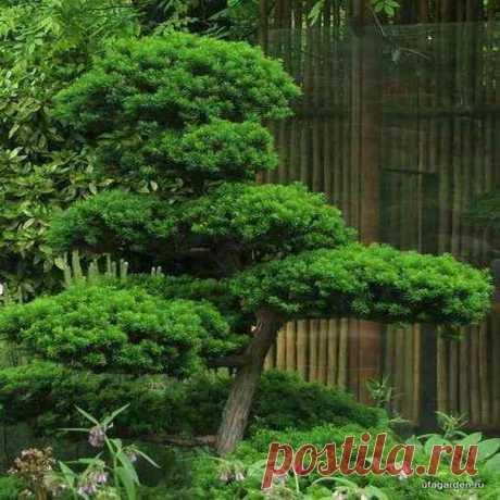 Ниваки | Дачная жизнь - сад, огород, дача.  Формирование сосны-ниваки