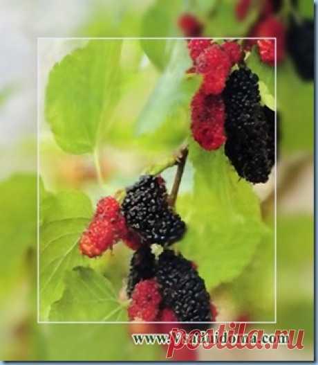Посадка и выращивание шелковицы | Сайт о саде, даче и комнатных растениях.