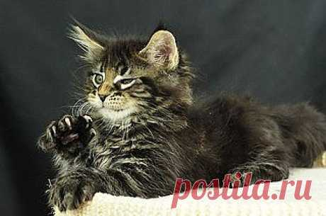 Maine Coon Kittens: Odin | Flickr - Photo Sharing!