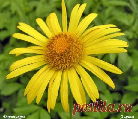 Дороникум восточный- весенняя желтая ромашка