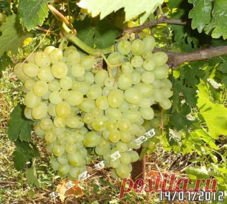 (+1) a subject - What is SAT for maturing and a right choice of grades of grapes | the KITCHEN GARDEN WITHOUT EFFORTS