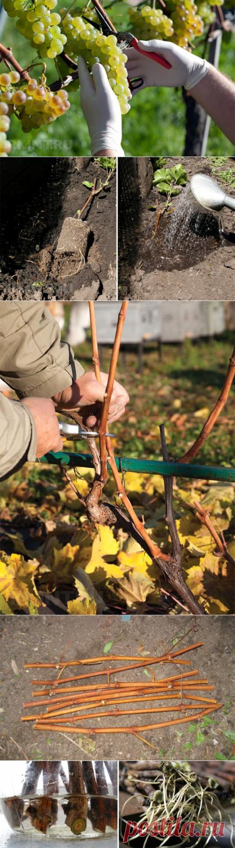 Виноград: посадка, уход, обрезка и размножение RMNT.RU
