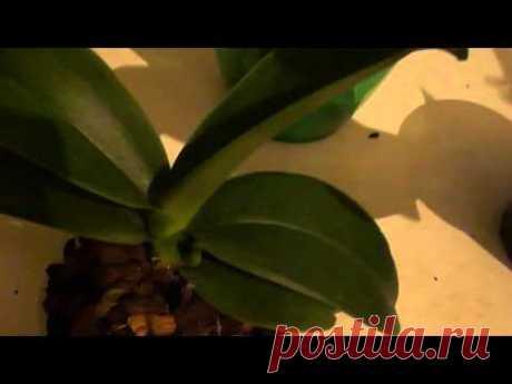 Простая ошибка в уходе за орхидеей
