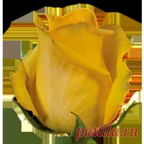 Mohana - Розы желтые - Розы