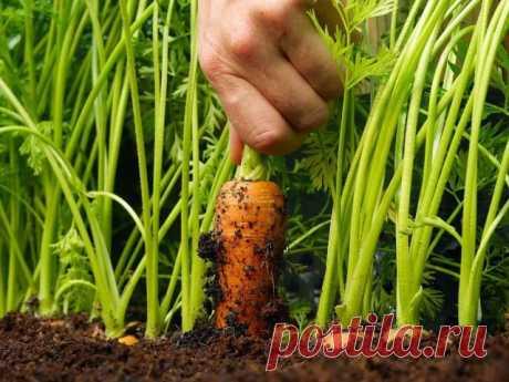 Рецепт подкормки после которой морковь идет в быстрый рост! — Простые советы