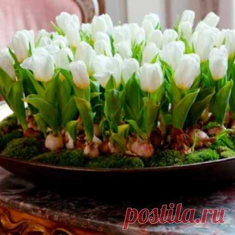 How to grow up tulips, narcissuses, hyacinths and muskarik by New year