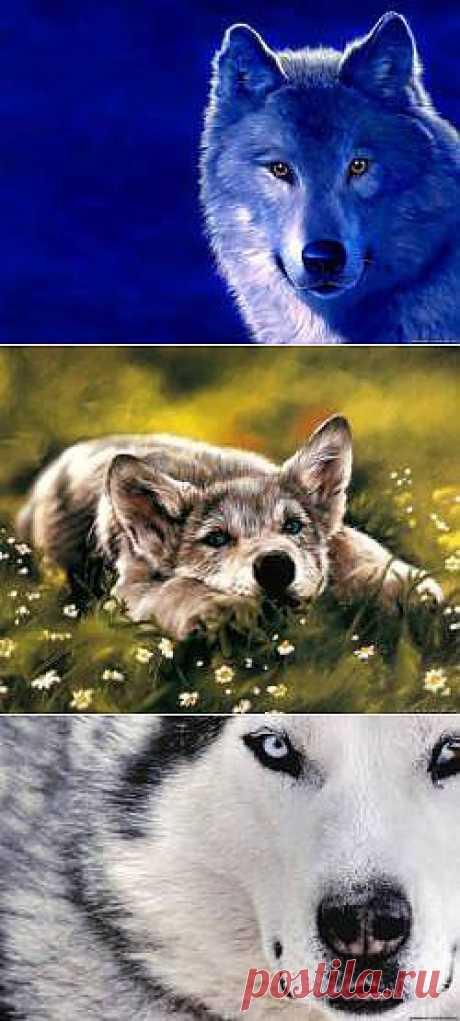 Красивые Волки картинки - 164 фото обои на рабочий стол галерея 1 - Фото мир природы