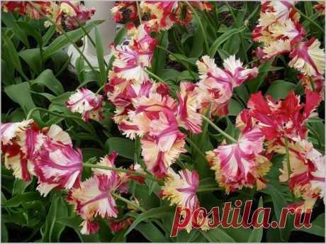 Тюльпаны в цвету - сорта