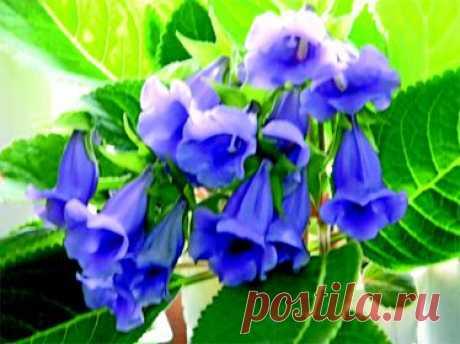 Тидея – цветок, который вас полюбит | Сайт газеты «Дачница»