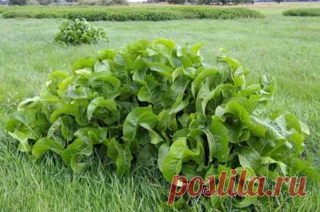 Хрен – единственное растение, способное вытягивать соль через поры кожи. СДЕЛАЙТЕ – НЕ ПОЖАЛЕЕТЕ! Избавиться от всей соли, которая накопилась в организме и может привести к солевым болезненным отложениям, помогут листья хрена.. Напоминаю проверенный и безотказный рецепт.  Возьмите свежие крупные листья хрена – 2 шт. Перед сном окуните их с  двух сторон кипяток и сразу положите на спину, захватывая шею. Обвяжите тканью. Возможно легкое жжение, но боли нет.  Утром осторожно снимите листья – если с