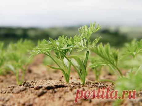 Что такое ленточный метод посадки семян и его преимущества