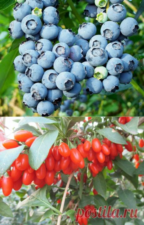 Жалею, что раньше не высадила эти плодовые кустарники в своем саду - урожайность отличная | Записки огородницы | Яндекс Дзен