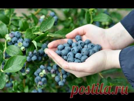 Elite Technology of landing of FRUITFUL Blueberry
