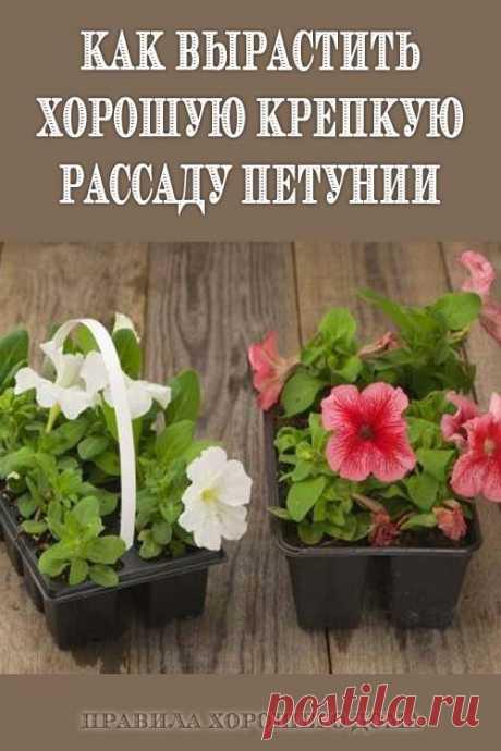 Как вырастить хорошую крепкую рассаду петунии