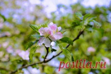 картинки : природа, филиал, цвести, милая, Солнечный лучик, лист, цветение, фруктовый сад, весна, Зеленый, производить, ботаника, Розовый, Флора, Дикий цветок, Крупным планом, Кустарник, фруктовое дерево, нежная, яблоня, Макросъемка, цветущее растение, Признаки весны, Розовая семья, Цветущие плодовые деревья, Древесное растение, Наземный завод 6000x4000 -  - 566739 - красивые картинки - PxHere