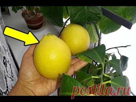 Домашние лимоны будут с голову если ухаживать этим способом! Как ухаживать за домашним лимоном?
