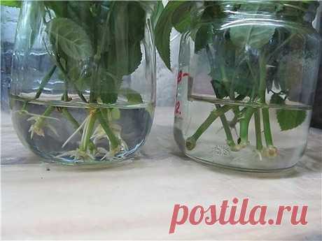 4 мощных стимулятора роста корней у черенка без химии | Секреты сада. Дача, цветы | Яндекс Дзен