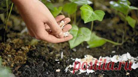 Fertilizer from an egg shell for a kitchen garden \u000a\u000aNot all know that imperceptible at first sight egg shell can become excellent fertilizer for your kitchen garden. We will tell how it is correct to use it and to what vegetable cultures it is useful.\u000a…