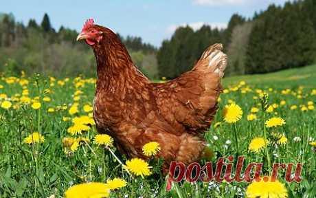 Как применять куриный помет в качестве удобрения? Автор: Виктор Сергеенко