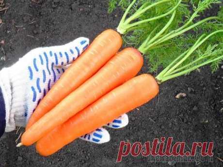 Какая бывает морковь – все о сортах и их использовании в кулинарии Каждый сорт овощей выводят с определенной целью. Назначение плодов обычно указано на пакетике с семенами. И морковка не исключение. Давайте разберемся, какой сорт моркови лучше подходит для хранения, ...