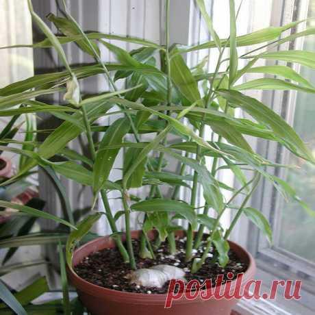 Выращивание имбиря в домашних условиях |