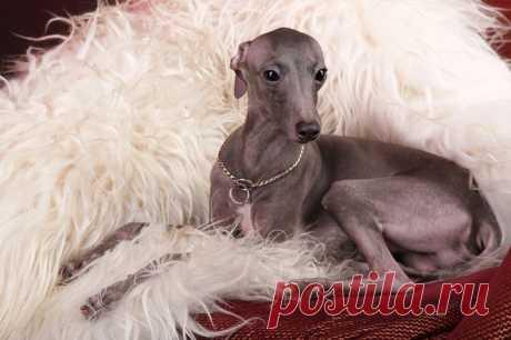 Левретка (итальянская борзая, итальянский грейхаунд): описание породы, цена щенка, характер собаки