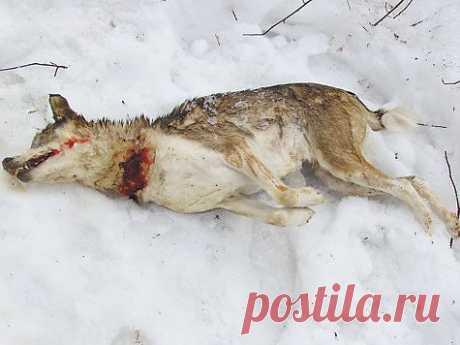 Дело об убитой парме - Охота - Охотники.ру