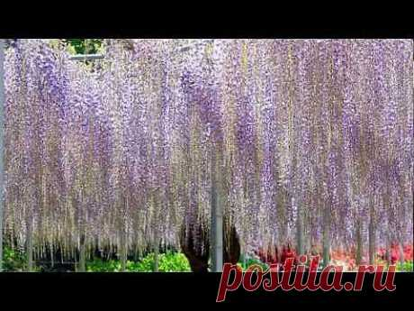 ▶ Парк цветов в Японии Асикага - YouTube