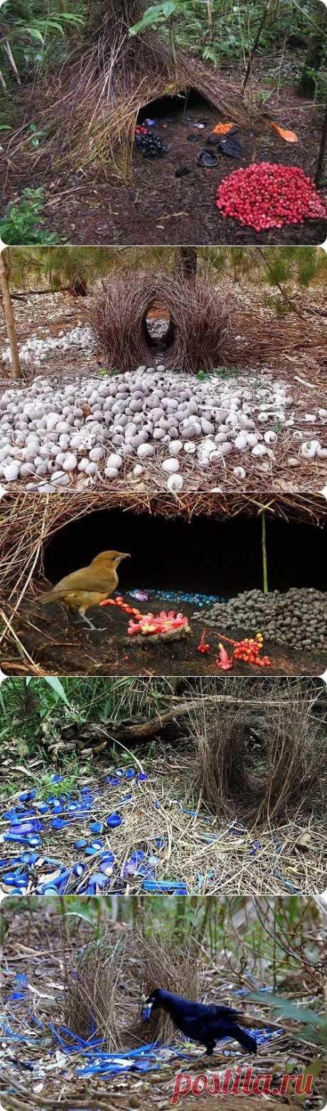 Шалашники, фотографии гнезд шалашников