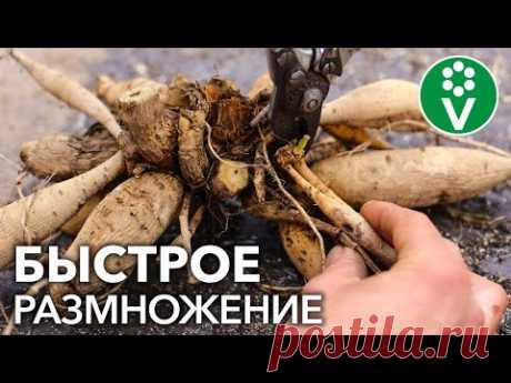 КАК ОЖИВИТЬ ГЕОРГИНЫ? Проращивание и черенкование георгинов весной